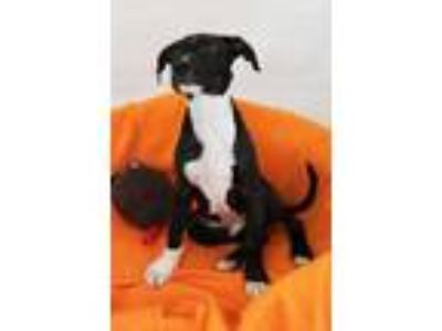 Adopt Amos Moses a Black American Pit Bull Terrier / Mixed dog in Berkeley