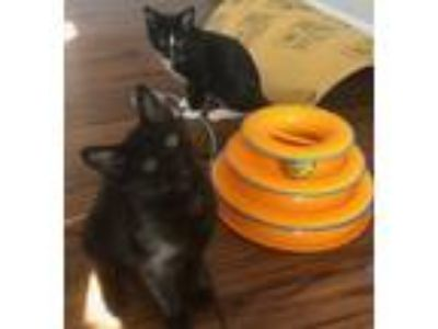 Adopt Tweetie & Tora (KITTEN) a All Black Domestic Shorthair / Mixed (short