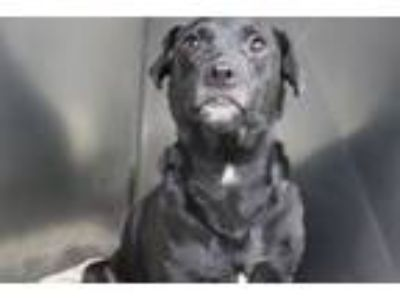 Adopt Filly (Momma) a Labrador Retriever, Miniature Pinscher
