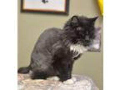 Adopt Whisk a Domestic Short Hair