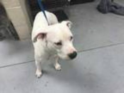 Adopt MAYA a White - with Black American Pit Bull Terrier / Mixed dog in Conroe