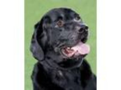 Adopt Goliath a Great Dane, Mixed Breed