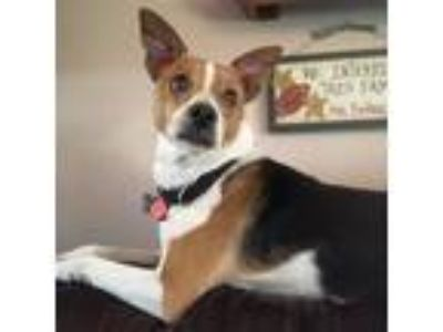 Adopt Willie 2 - (Adoption pending) a Parson Russell Terrier