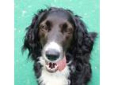 Adopt Emma a English Springer Spaniel