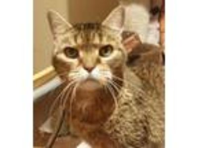 Adopt Madam Mim a Domestic Short Hair