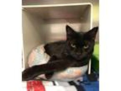 Adopt Olalla a Domestic Short Hair