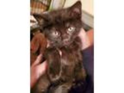 Adopt Jordie a Black (Mostly) Domestic Shorthair / Mixed (short coat) cat in