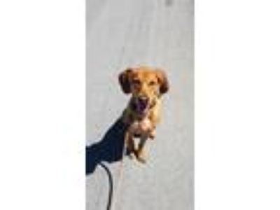 Adopt Arlo a Tan/Yellow/Fawn Hound (Unknown Type) / Mixed dog in Manchester