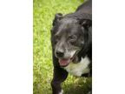 Adopt Larry a Black - with White Labrador Retriever / Mixed (short coat) dog in