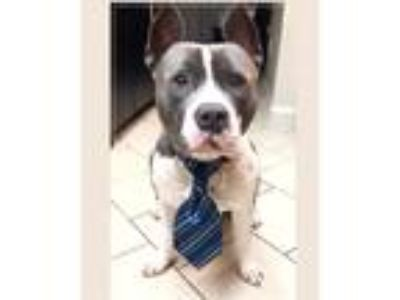 Adopt Sebastian a White - with Gray or Silver Staffordshire Bull Terrier / Mixed