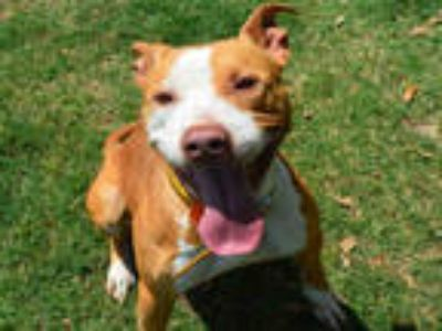 Adopt PEACHES a Red/Golden/Orange/Chestnut - with White American Pit Bull