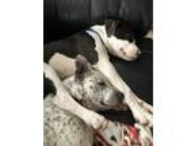 Adopt Jax a Black - with White American Pit Bull Terrier / Shiba Inu dog in