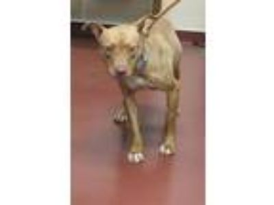 Adopt Cola a Pit Bull Terrier