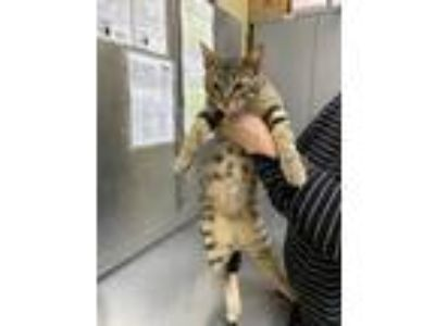 Adopt Thelma a Gray or Blue Domestic Shorthair / Domestic Shorthair / Mixed cat