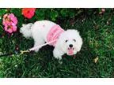 Adopt Olivia a White Bichon Frise / Poodle (Toy or Tea Cup) dog in Tampa