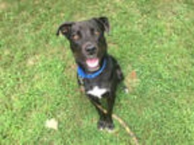 Adopt RAUL a Black - with White Labrador Retriever / Border Collie / Mixed dog