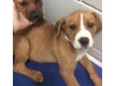 Adopt Marty - abandoned puppy needs foster / adopter a Boxer