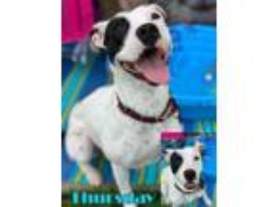 Adopt Thursday a Terrier (Unknown Type, Small) / Pit Bull Terrier / Mixed dog in