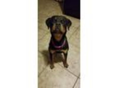 Adopt Mahlia a Black - with Tan, Yellow or Fawn Rottweiler / Labrador Retriever
