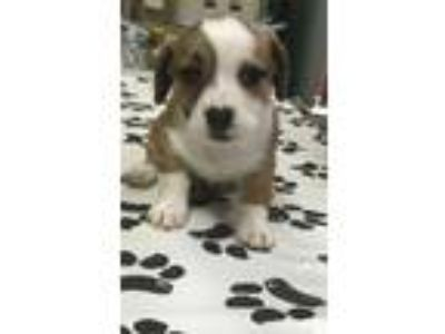 Adopt Beagle mix puppies a Beagle, Terrier