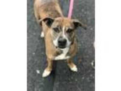 Adopt Diesel a Hound (Unknown Type) / American Pit Bull Terrier / Mixed dog in