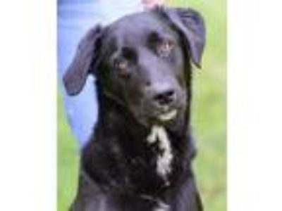 Adopt Texas a Border Collie, Labrador Retriever