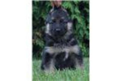 German Shepherd Puppies (Imported European Blood Line)