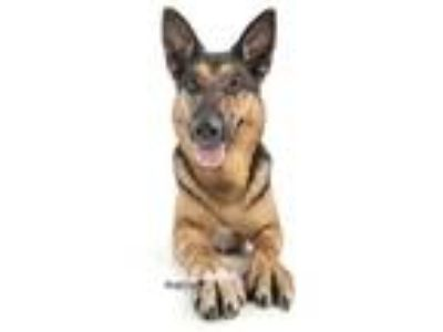 Adopt Gunner a German Shepherd Dog