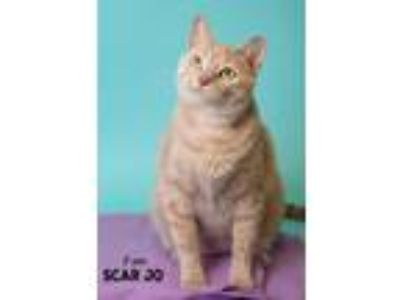 Adopt Scar Jo a Domestic Shorthair / Mixed (short coat) cat in Boone