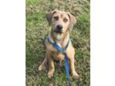 Adopt Nog a Catahoula Leopard Dog