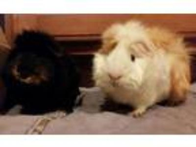 Adopt Mack and Maki a Guinea Pig small animal in Plainfield, IN (25875291)