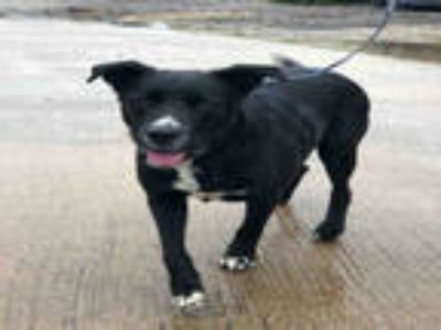 Adopt CEASAR a Black - with White Labrador Retriever / Mixed dog in Plano