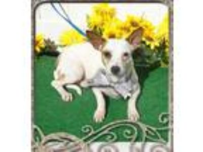 Adopt RIKKI a White - with Tan, Yellow or Fawn Jack Russell Terrier / Mixed dog