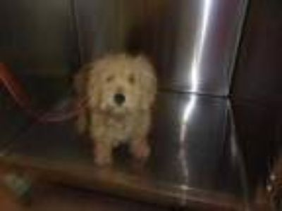 Adopt 41711963 a Tan/Yellow/Fawn Schnauzer (Miniature) / Poodle (Toy or Tea Cup)