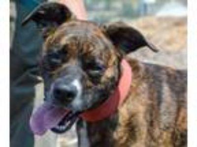 Adopt Arwen a Black Boxer / Border Collie / Mixed dog in Pendleton