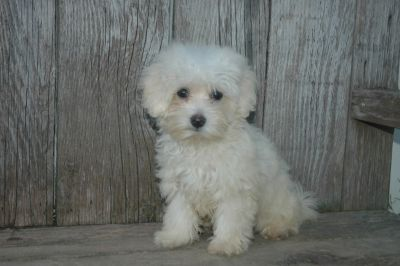 Adorable Maltipoo Puppies for sale