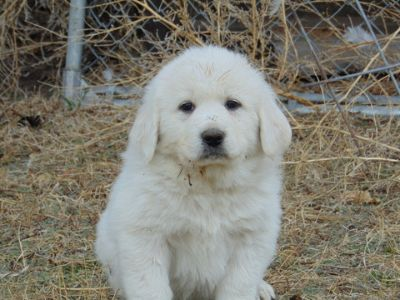 Great Pyrenees PUPPY FOR SALE ADN-70364 - Poultry trained Great Pyrenees