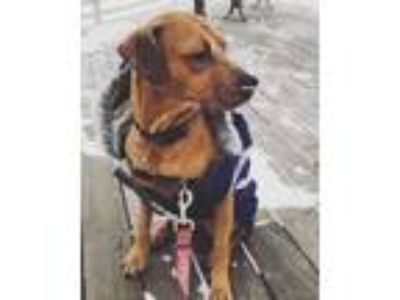 Adopt Sadie a Red/Golden/Orange/Chestnut Rhodesian Ridgeback / Beagle / Mixed