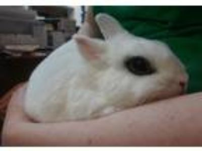 Adopt Gulliver a Dwarf Hotot / Mixed rabbit in Pittsburgh, PA (25917656)