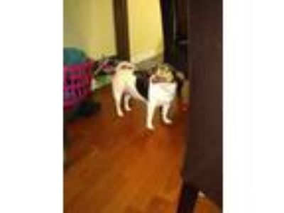 Adopt Morgan a White - with Black Fox Terrier (Toy) dog in Bressler