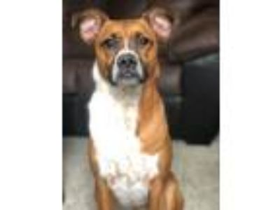 Adopt Chrystal a Boxer, Cattle Dog