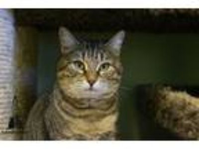 Adopt Alura a Domestic Short Hair