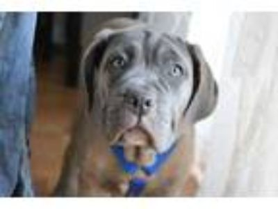 Adopt Ellie a Tan/Yellow/Fawn Cane Corso / Mixed dog in Rochester, NY (25313976)