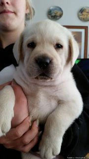 ..labrador retriever puppies