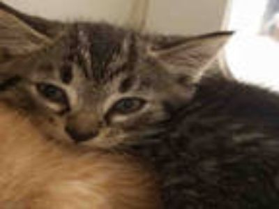 Adopt 864816 a Brown Tabby Domestic Shorthair / Mixed (short coat) cat in
