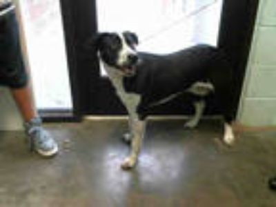 Adopt ROCKY a Black - with White Border Collie / Mixed dog in Tulsa
