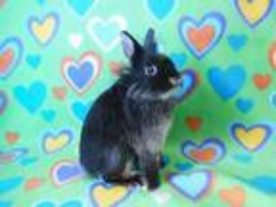 Adopt Puffy a Bunny Rabbit