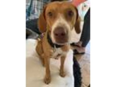 Adopt Ethan a Red/Golden/Orange/Chestnut - with White Pointer / Vizsla / Mixed