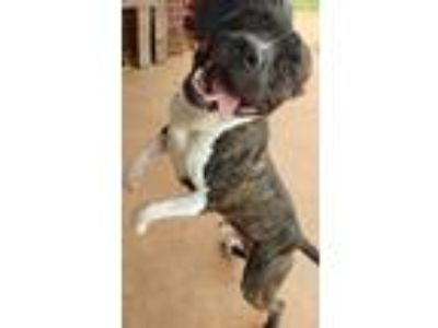 Adopt Jesse a Brindle - with White Pit Bull Terrier / Mixed dog in Norman
