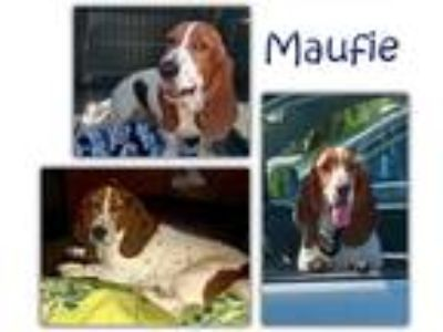Adopt Maufie a Tricolor (Tan/Brown & Black & White) Basset Hound / Mixed dog in
